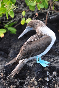 what is the best galapagos island to visit blue footed booby