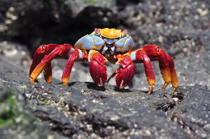 what is the best galapagos island to visit crab