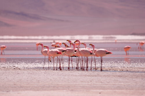 Flamingoes at Laguna Colorada Salar de Uyuni